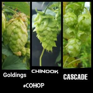 Chinook Cascade Goldings