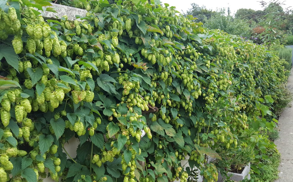 Hops Harvest Time