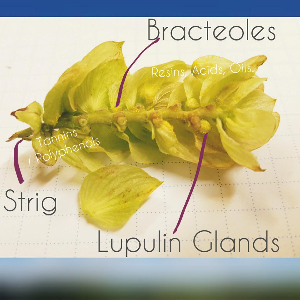lupulin oils resins acids polyphenols hop