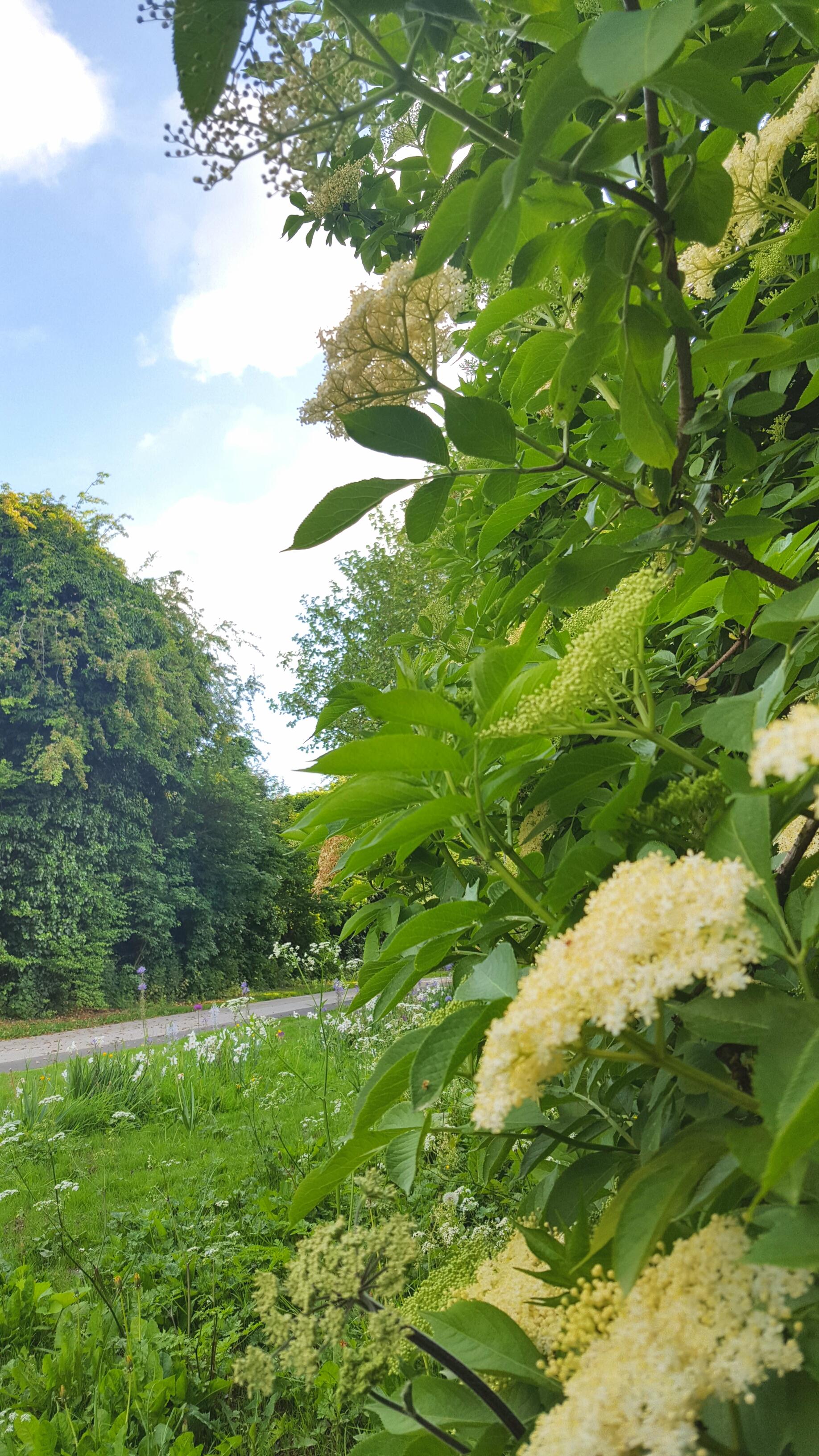 Elderflower Bubbly